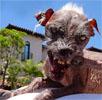 Sam, der hässlichste Hund der Welt